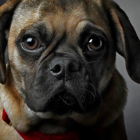 Puggles - portrait- harderlee